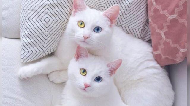 超レア! 2色の目を持つ双子の姉妹猫がインスタグラムで話題