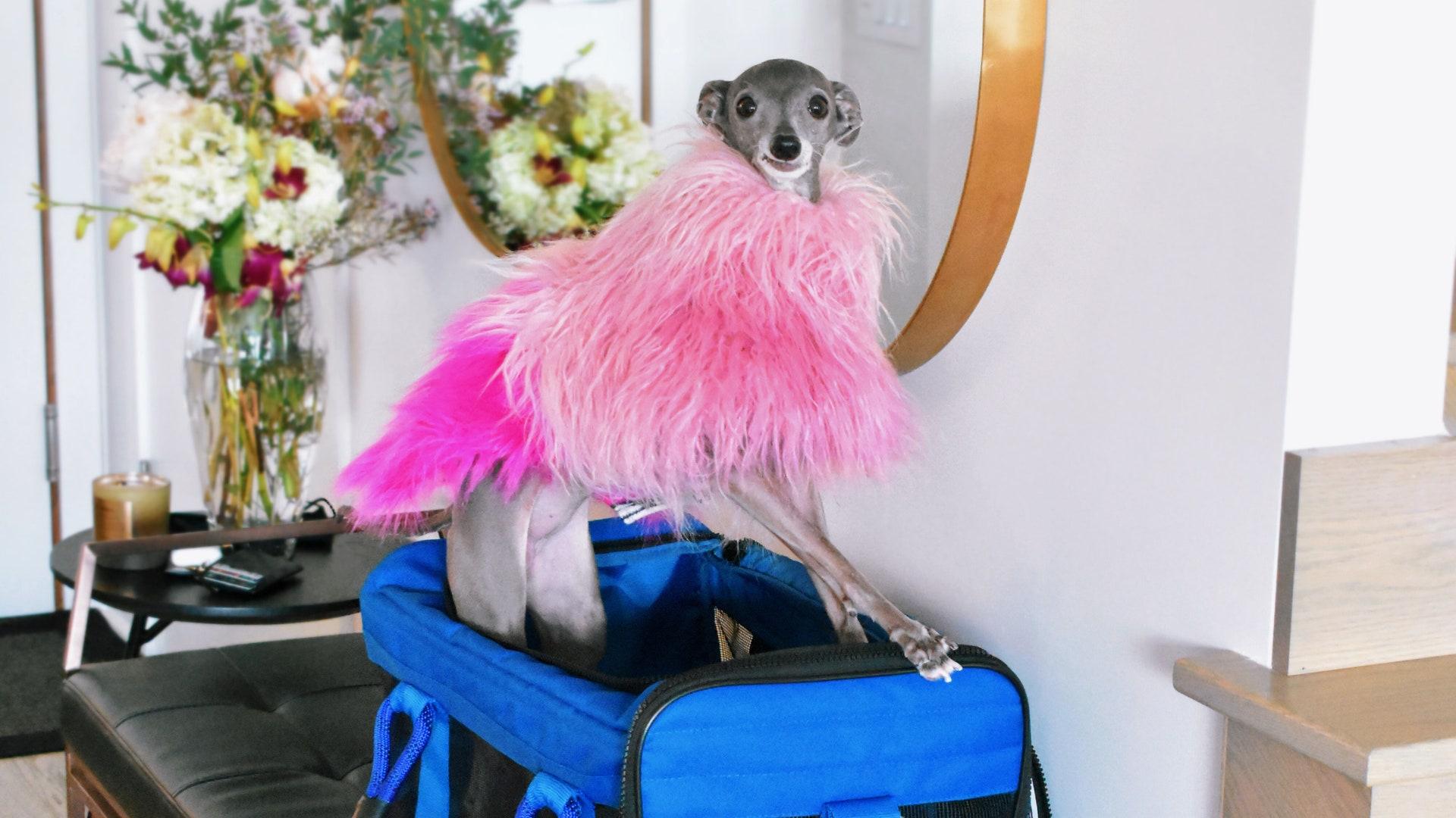 とびきりクールなワンちゃん、「ティカ・ザ・イギィ」のモードなファッション。 | Vogue Japan